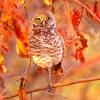 0140 red leaves one owl