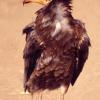 0049 I Am Egyption vulture